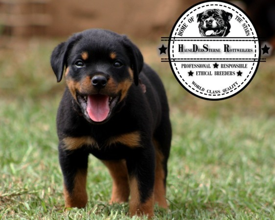 The Best Parrots In The World Lion Head Rottweiler Puppies For Sale In Gauteng
